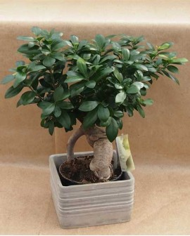 "Bonsai Ficus Ginseng ""Grey"""