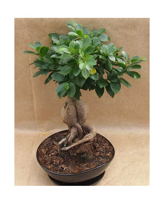 Bonsai Ficus Ginseng Black