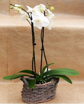 "Orchidea phalaenopsis 2 rami ""BARK BAG"" SMALL"