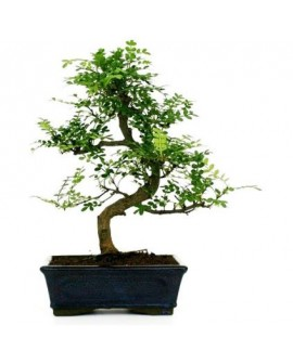 "Bonsai da interno""PEPE"""
