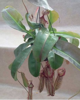 Pianta carnivora Nepenthes